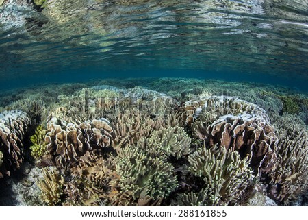 A coral reef begins to bleach in Raja Ampat, Indonesia, due to high sea surface temperatures. This area, found off the west coast of Papua, harbors some of the Coral Triangle's most diverse reefs. - stock photo