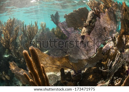 A coral reef dominated by gorgonians grows in the shallow waters of Belize's barrier reef in the Caribbean Sea. Belize's reef is about 220 km long, running from the Yucatan to the Gulf of Honduras. - stock photo