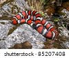 A Coral Snake mimic, the California Mountain Kingsnake (King Snake), Lampropeltis zonata multicincta, coiled on a rock in the mountains with a lizard in its belly - stock photo