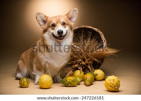 A corgi dog sitting next to a basket full of wheat and pumpkins - stock photo