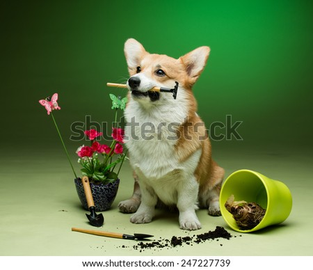 A corgi puppy sitting next to an empty flower pot with plants behind - stock photo