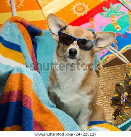 A corgi puppy with sunglasses sitting in an armchair on a beach - stock photo