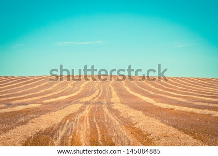 a corn field (Andalusia/Spain)