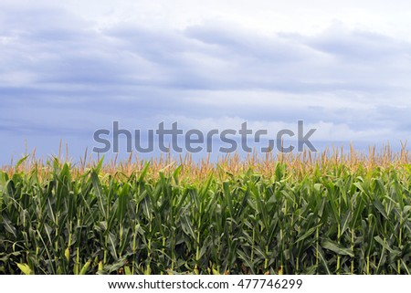 A corn field in Iowa with storm clouds in the background