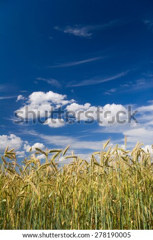 a corn field in summer against a blue sky - stock photo