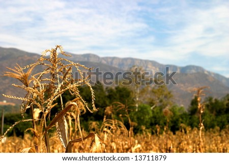 A corn field with the Topa Topa Mountains in the background in the Ojai valley. - stock photo