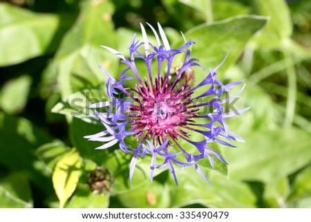 A cornflower (Centaurea cyanus) prior to full bloom