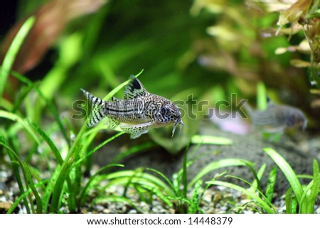 A Corydoras Trinilleatus Catfish swimming in a planted tropical aquarium.  Space for copy. - stock photo