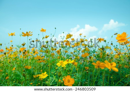 A cosmos flower face to sunrise in field .Beautiful  flowers and Blue sky - stock photo