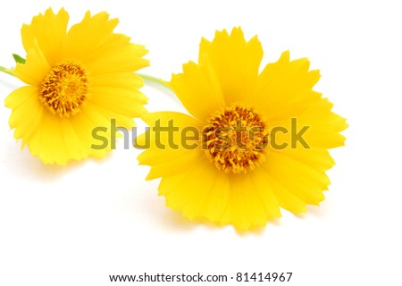 A Cosmos flowers - stock photo