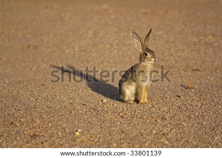 A cottontail rabbit standing on gravel, lit by the sunset - stock photo
