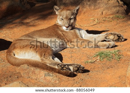 A cougar (Puma concolor) also known as a puma, mountain lion or panther resting on the ground - stock photo