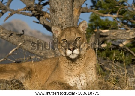 A Cougar Sits Under a Tree For a Rest - stock photo