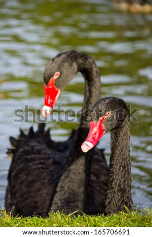 A couple black swans in a pond - stock photo