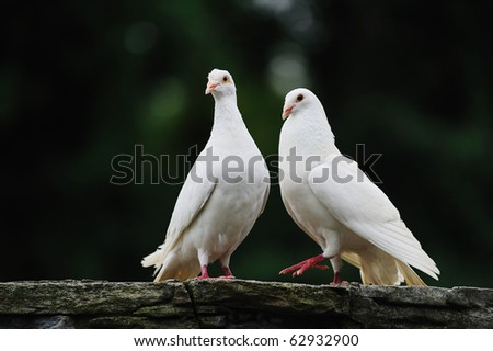 a couple dove. - stock photo