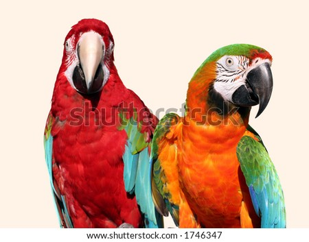 A couple of beautiful macaws - stock photo