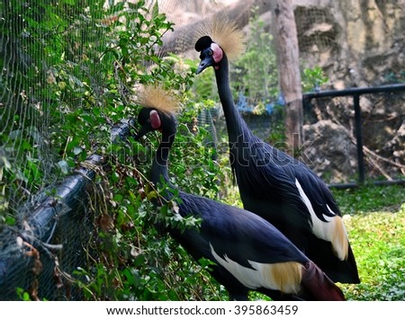 a couple of bird, close up of Black crowned crane - stock photo