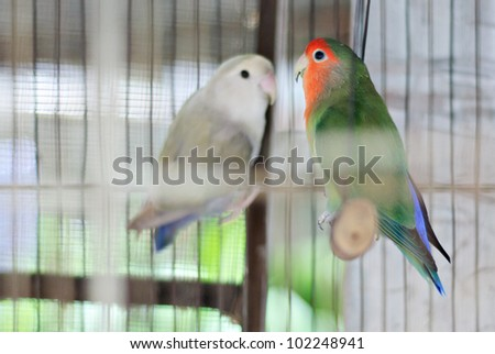 A Couple of Colorful African Lovebirds - stock photo