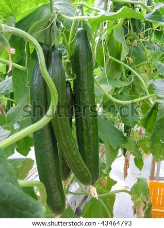 A couple of cucumbers growing in a greenhouse - stock photo