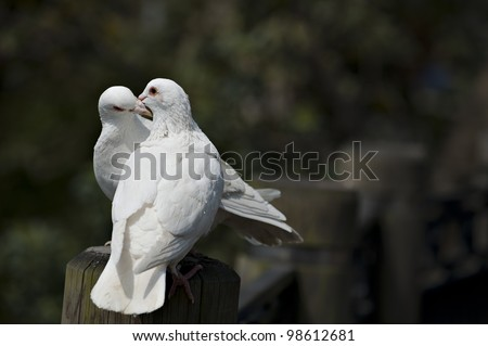 a couple of doves in love. - stock photo