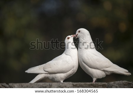 a couple of doves in loving. - stock photo