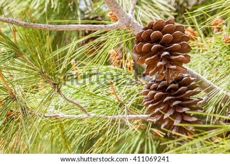 A couple of drought acorns hanged to their tree close to green leaves - stock photo