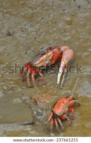 A couple of Fiddler crab in Hong Kong - stock photo