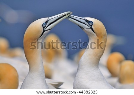 A couple of Gannet