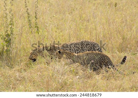 A couple of leopards (Panthera pardus) walking in the grass in Serengeti National Park, Tanzania - stock photo