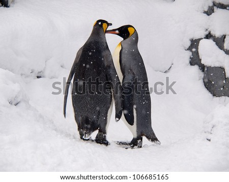 a couple of lovely King Penguins - stock photo