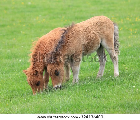 A couple of lovely Shetland Ponys eating the green grass - stock photo