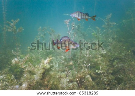 A couple of perch in the lake - stock photo