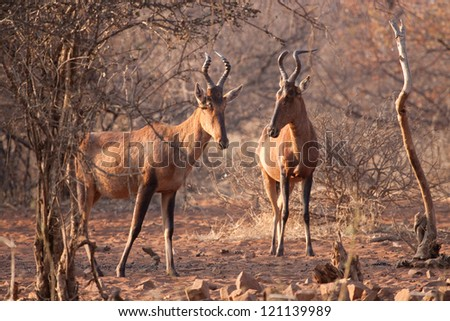 A couple of red hartebeest standing in the sand