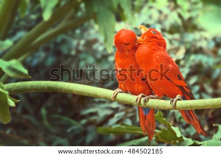 A couple of red parrots sitting on a branch, and take care of each other. Electus roratus.