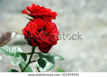 A couple of roses zoomed in from the rest of the bush. - stock photo