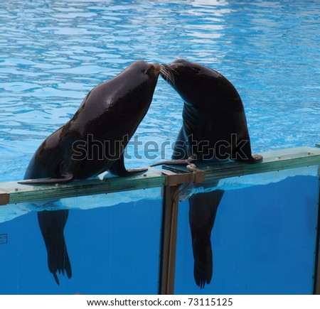 A couple of seals kissing in an aqua show - stock photo