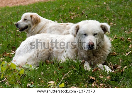 A couple of shepherd dogs