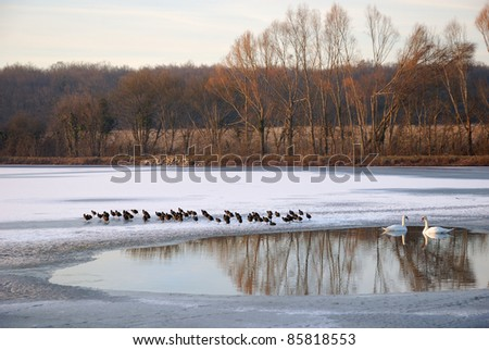 A couple of swans and coots on a cold lake - stock photo