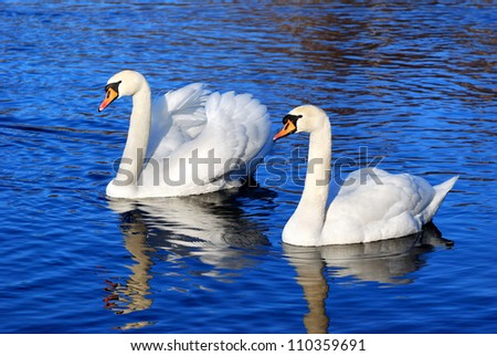 a couple of swans in the blue lake water - stock photo
