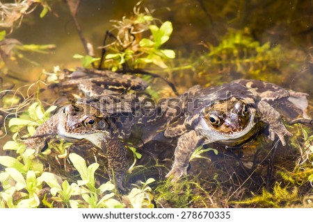 A couple of toads in the water - stock photo