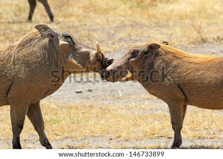 A couple of warthogs (Phacochoerus africanus) during the courtship in Ngorongoro Conservation Area, Tanzania - stock photo