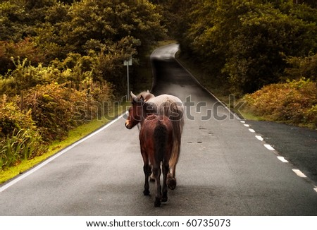 A couple of wild horses walking in a country road - stock photo
