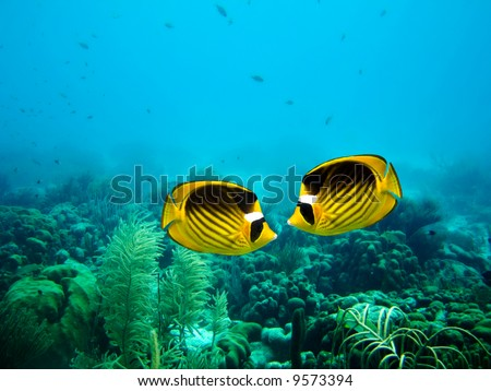 A couple of Yellow Masked Butterfly fish on a coral reef - stock photo