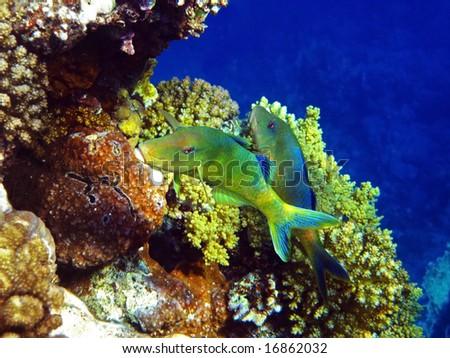 A couple of yellowsaddle goatfish - stock photo