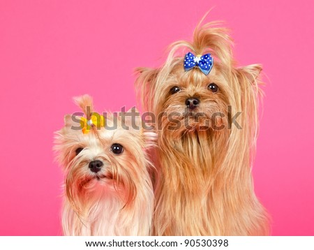 A couple of Yorkshire Terriers isolated portrait - stock photo