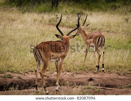 A couple of young male Impala antelopes. The Serengeti, Tanzania - stock photo