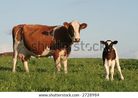A cow and a calf in a field - stock photo