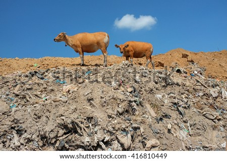 A cow and her calf scavenge for food on hazardous waste and toxic trash at the biggest and most polluted landfill site on the holiday resort island of Bali, Indonesia. - stock photo