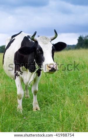 A cow grazes in a field. Closeup. - stock photo