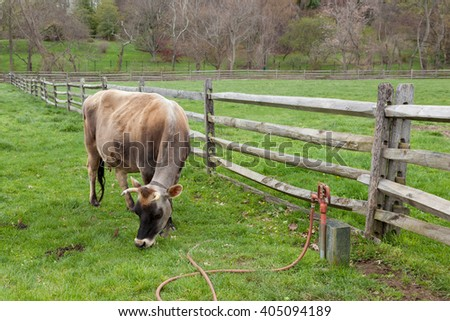 A cow grazes on grass in a farm pasture. - stock photo
